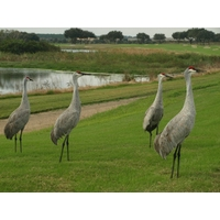 Sand Hill Cranes are abundant at ChampionsGate Golf Club in Orlando, Fla.