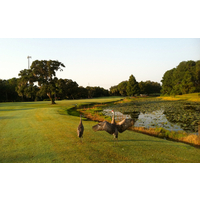 Two Florida Sandhill Cranes walk the fairways on the El Campeon golf course at Mission Inn.